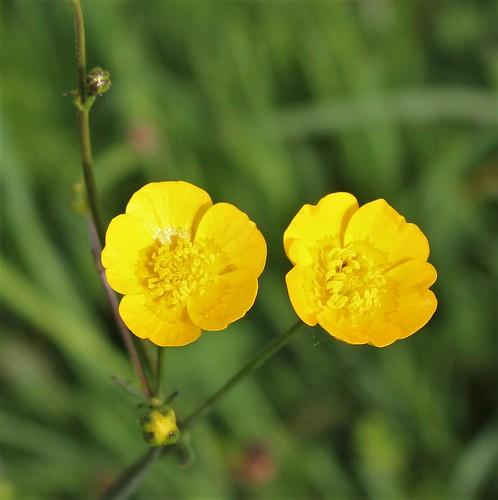 Ranunculus acris - renoncule âcre  42203196321_134d2ca336