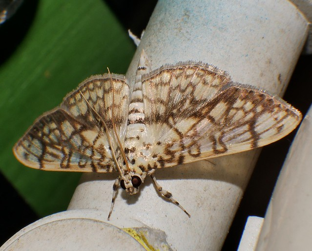 Crazy lined cream and tan Moth Haritalodes obliqualis Spilomelinae Crambidae Pyraloidea Airlie Beach rainforest P1310420
