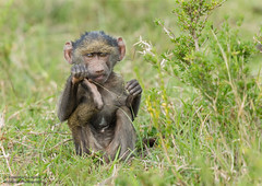 Olive baboon Infant - Papio anubis