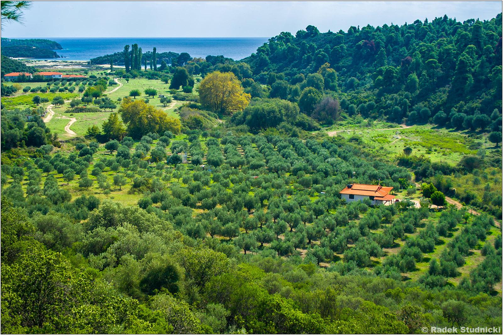 Gaj oliwny w Grecji
