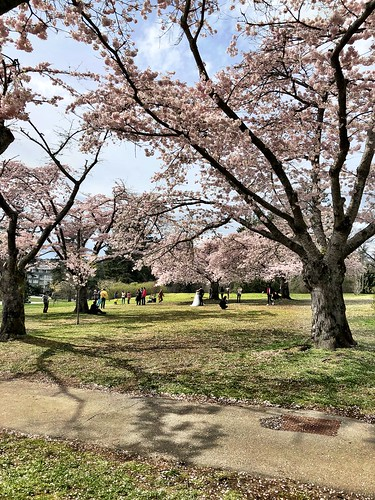 Cherry blossoms, Queen Elizabeth Park