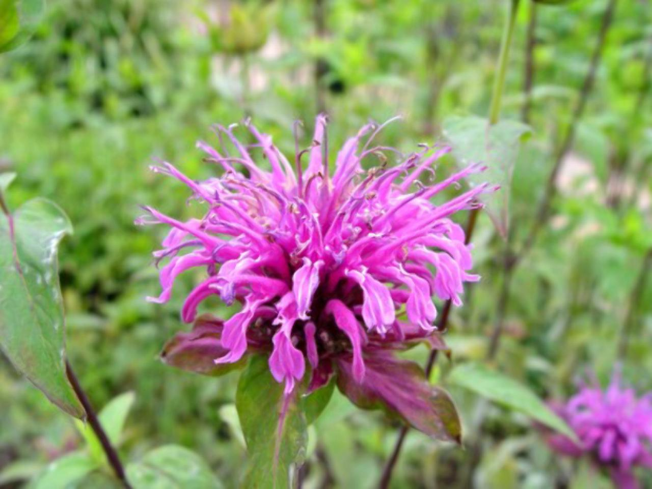 Bee Balm Edible Flowers to Flavour your Food & Improve your Health (gardeningflavours.com)