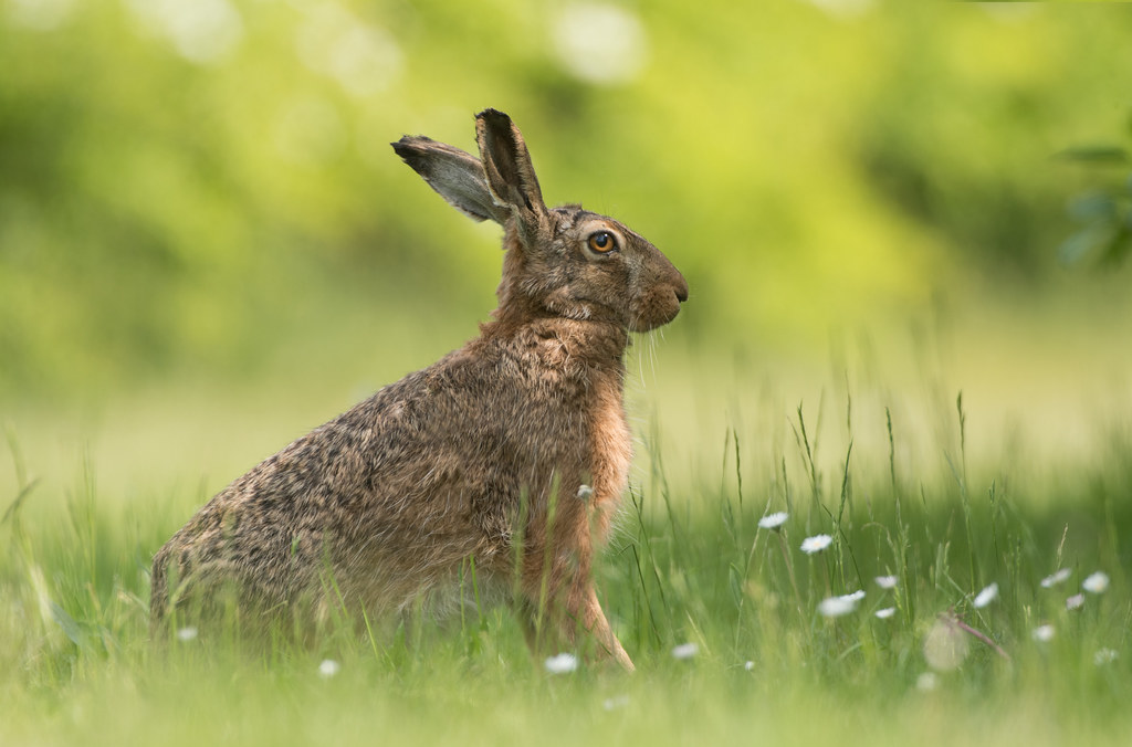 Back yard Brown Hare