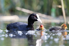 Foulque macroule - Fulica atra - Eurasian Coot - Photo Michel NOËL © 2018 - IMG_7912
