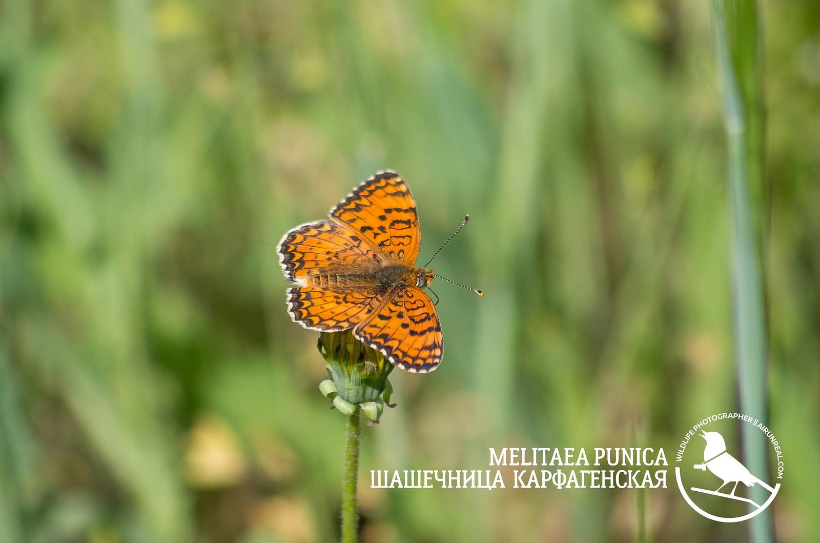 Melitaea punica // 20180522