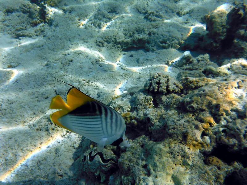 Нитепёрая рыба-бабочка (Chaetodon auriga)DSCF5015