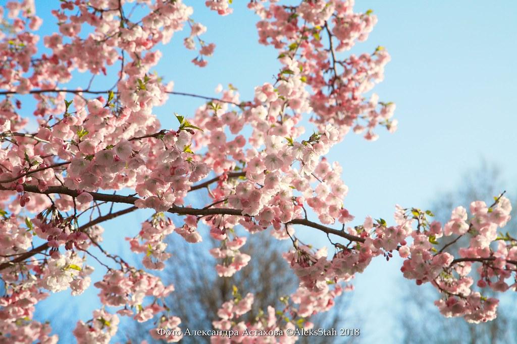 Sakura flowering