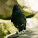 Carrion Crow  17