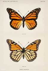 Monarch Butterfly (Danais Archippus) from Moths and butterflies of the United States (1900) by Sherman F. Denton (1856-1937). Digitally enhanced from our own publication.