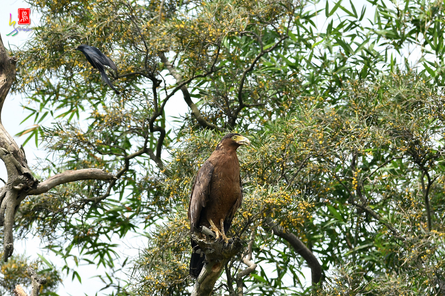 Crested_Serpent_Eagle_3465