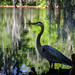 Heron on Water Edge