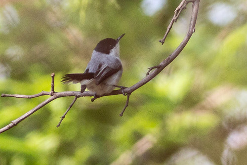 White-lored Gnatcatcher