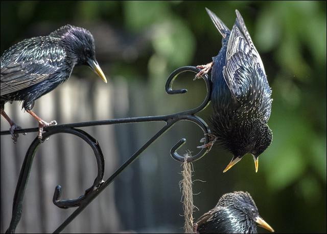 Garden Starlings 3