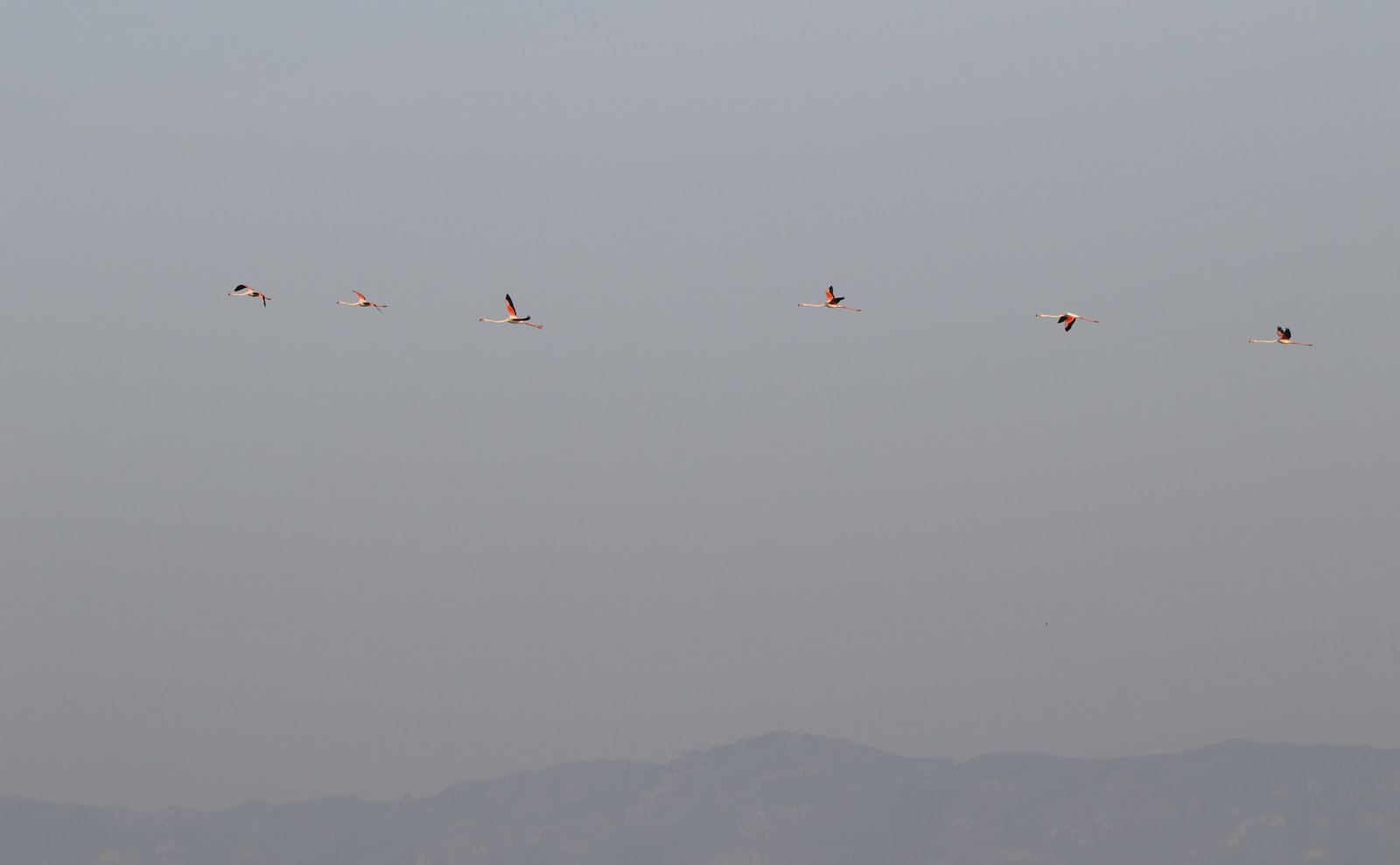 Greater Flamingo over Punta de la Banya