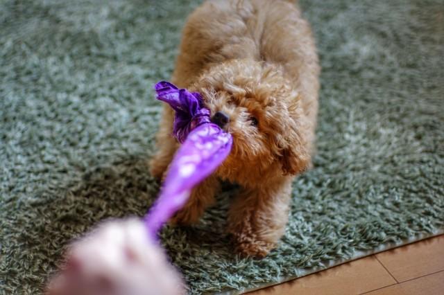 室内遊びを楽しむ犬
