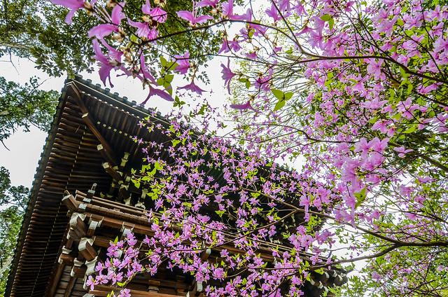 Cherry blossoms roof Nanzen-ji