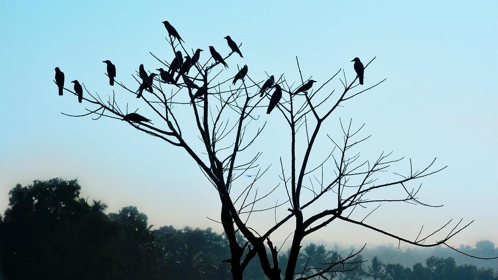 crows-Ajayptp(16;9)