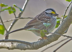 White Throated Sparrow 2018-1