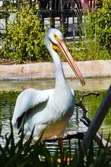American White Pelican 1.  Nikon D3100. DSC_0370.