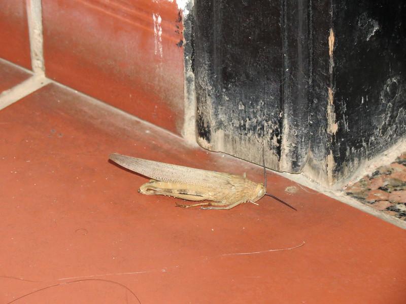 Locust (Acrididae)IMG_2985