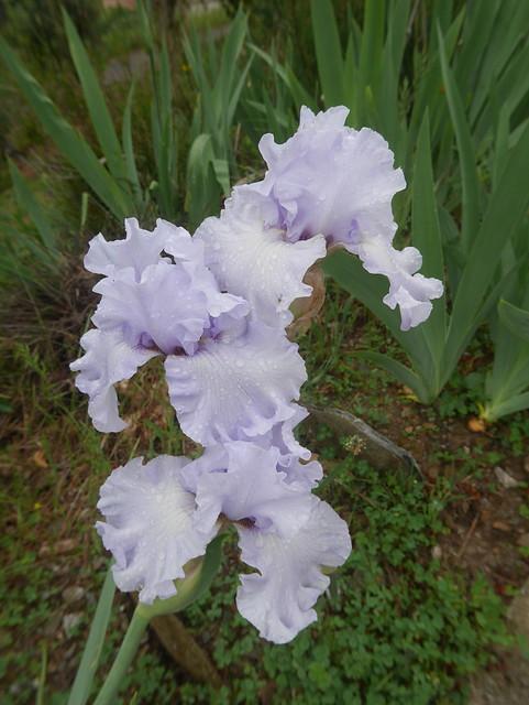 Iris 'Silverado' - Schreiner 1986 41563096834_b22fdf83b7_z