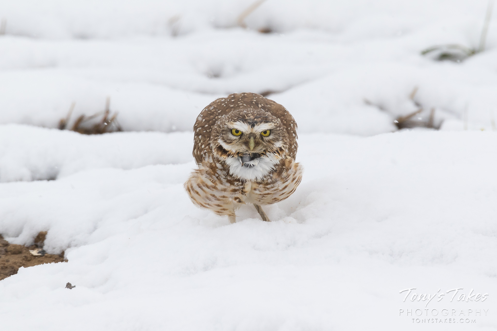 A burrowing owl weathers a spring snow on the plains of Colorado. (© Tony's Takes)