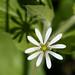 Wood Stichwort (Stellaria nemorum)