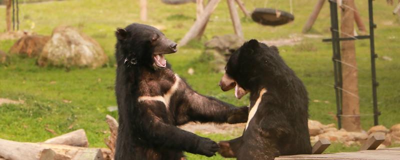 Happy bears wrestling