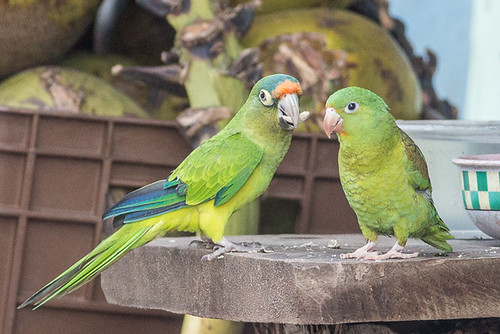 Orange-fronted parakeet and Orange-chinned Parakeet