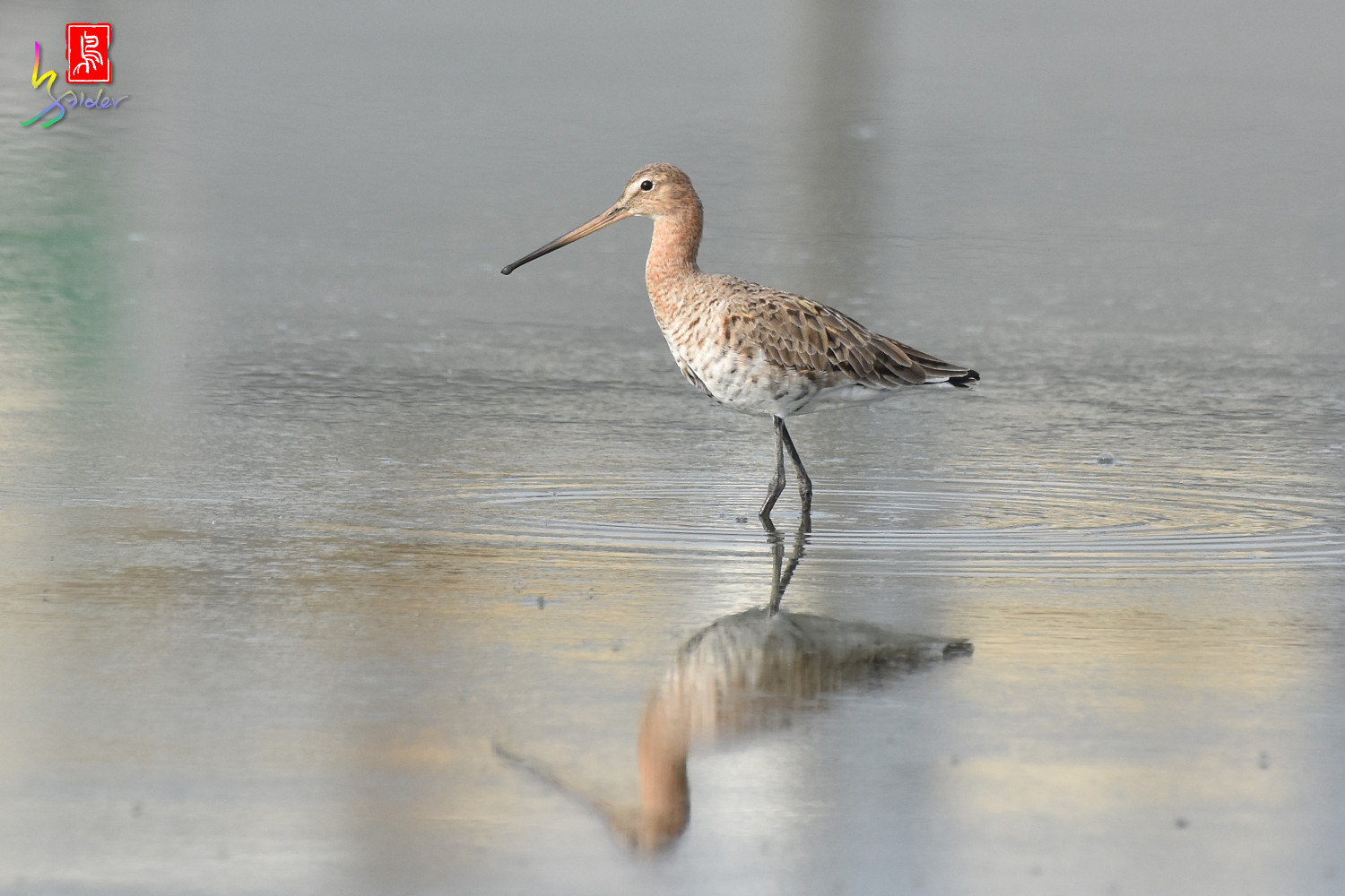 Black-tailed_Godwit_6915