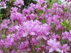 Azalea - Rhododendron kiyosumense Makino