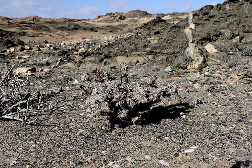 Pelargonium cerathophyllum