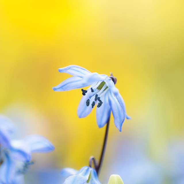 Siberian Squill, Nikon D810, AF Micro-Nikkor 200mm f/4D IF-ED