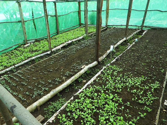 Plant nursery at the prototype horticulture plantation on Tanna Island, Vanuatu