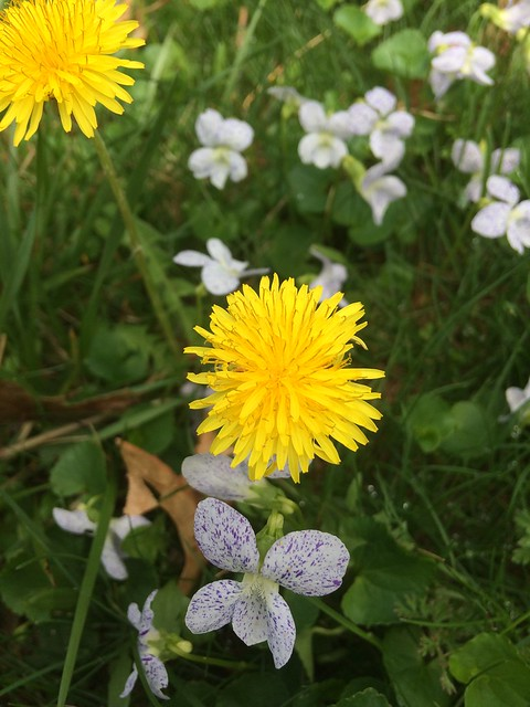 daily dandelion 4 May 2018