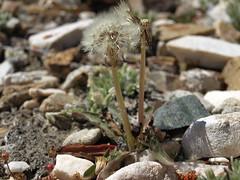 horned dandelion, Taraxacum ceratophorum
