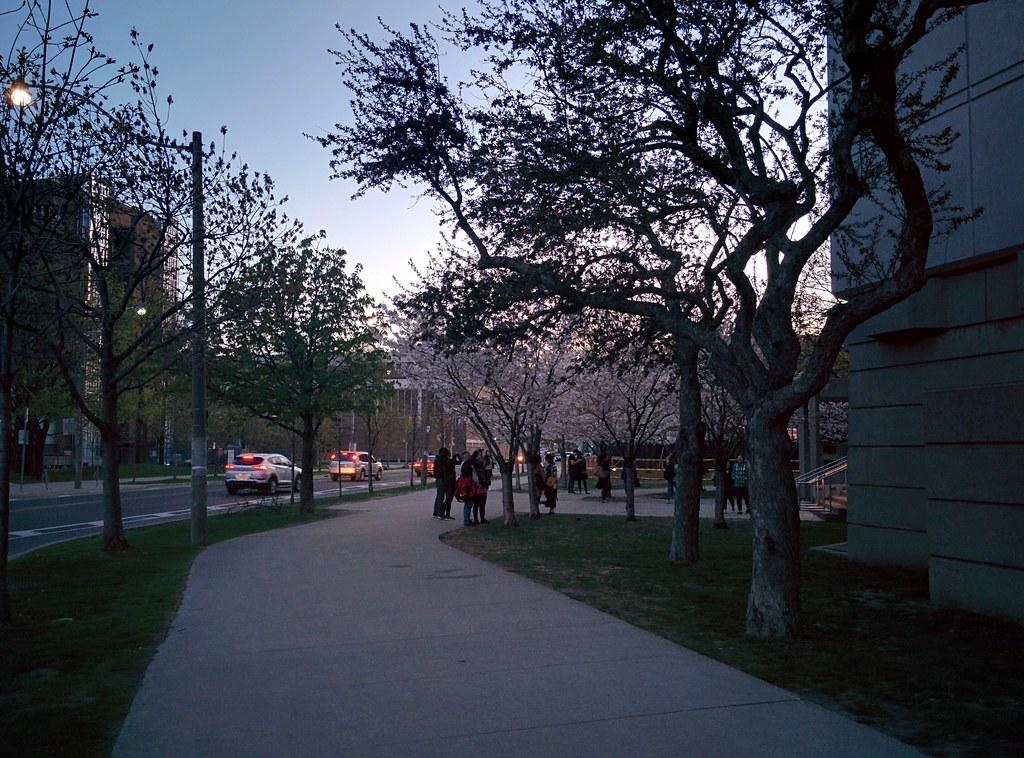 Sakura of Robarts in twilight (1) #toronto #sakura #cherryblossom #universityoftoronto #robartslibrary #harbordstreet #latergram