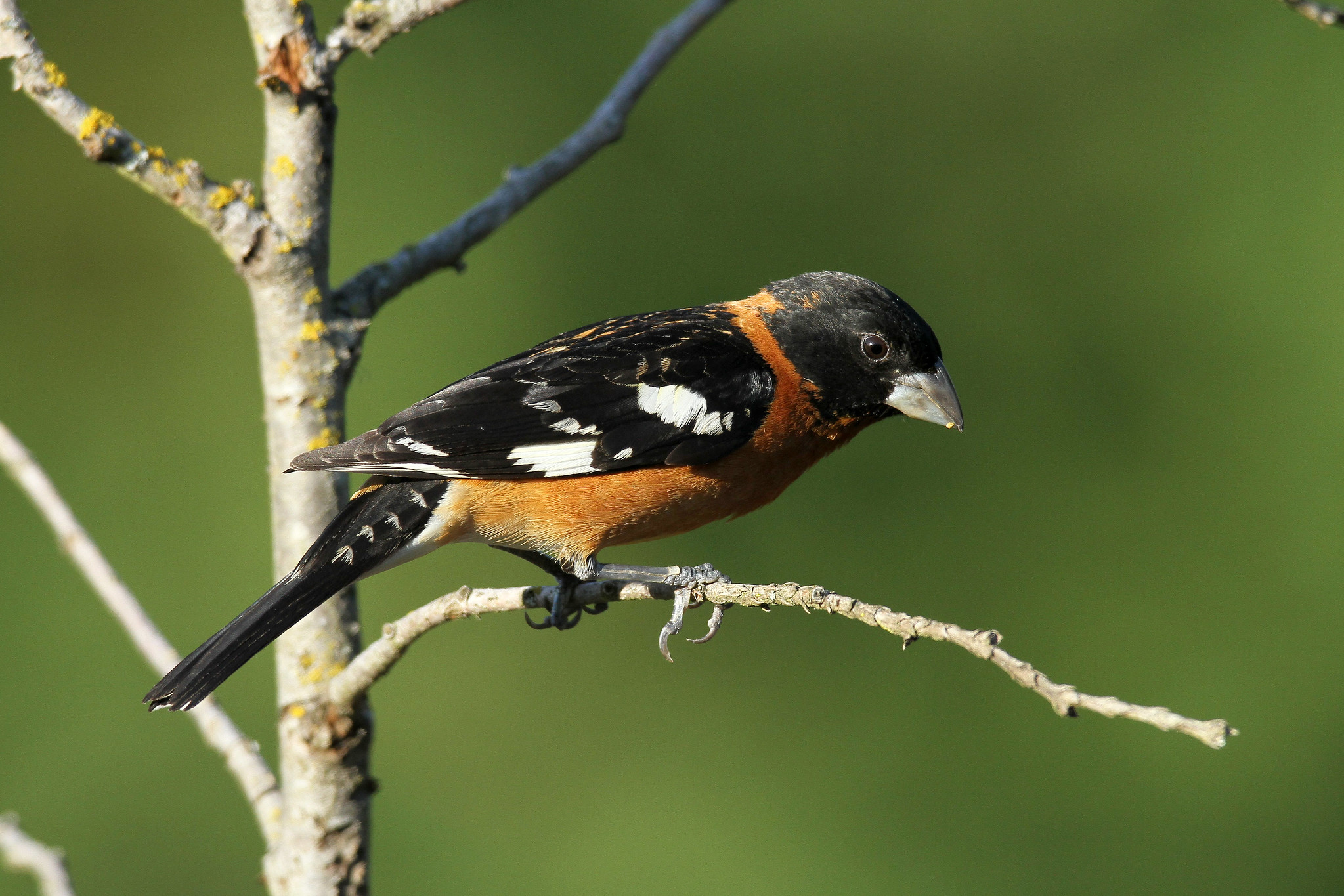 Pheucticus melanocephalus ♂ (Black-headed Grosbeak) - WA, USA