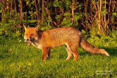 Beautiful red fox by gemma reddington