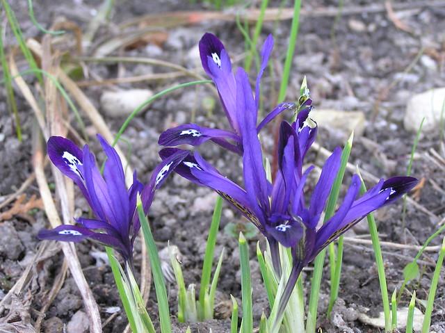 Iris reticulata 'Blue Note'