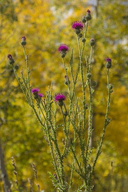 Bull Thistle definition/meaning