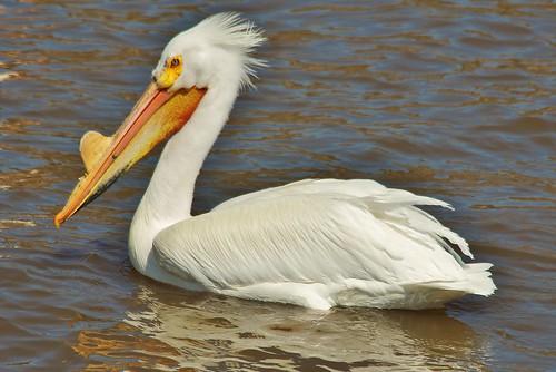 Mississippi River Pelican