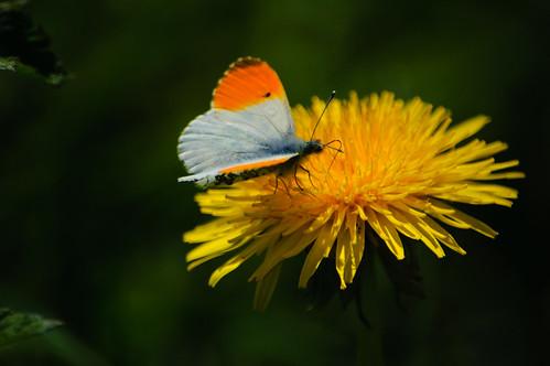 Orange tip butterfly feeding on dandelion flower