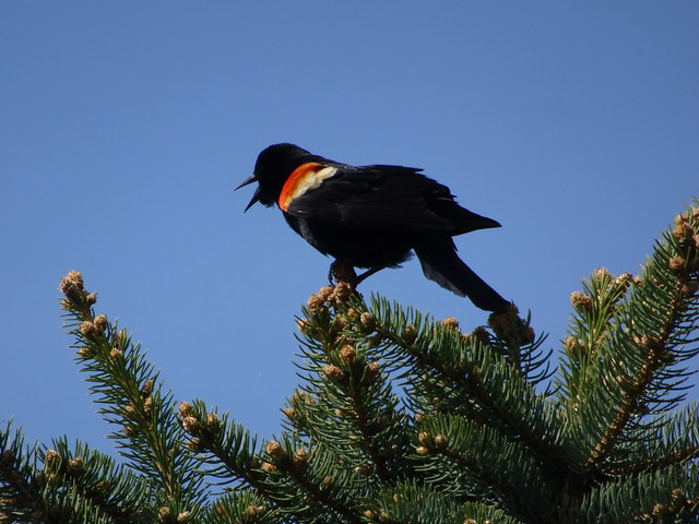 Redwing Blackbird Singing