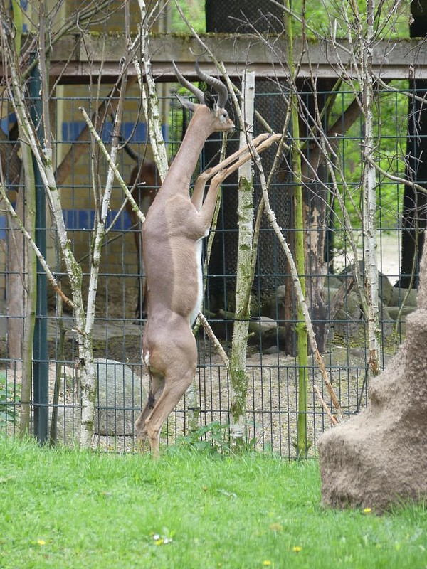 Generuk, Zoo Berlin