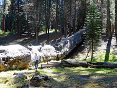 If a tree falls in a forest . . . ., Sequoia NP 5-18a