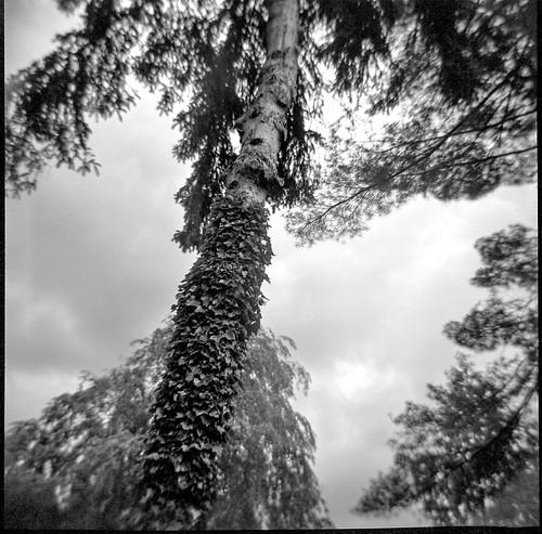 lookingup treetops treetrunk ivycovered asheville northcarolina dianaf kodaktmax400 ilfordilfosol3developer lomography 120 film 120film mediumformat blackandwhite monochrome monochromatic landscape