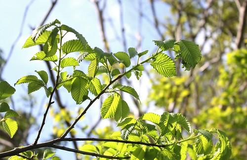 Ulmus minor (= Ulmus campestris) - orme champêtre et hybrides x hollandica  41223730545_1ac924bd59