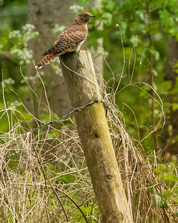 Rufous Stage Female Cuckoo