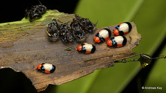 Freshly hatched leaf beetles & exuviae